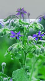 freeradical.photo.Borage